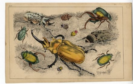 1858 Antique Print INSECTS BEETLE BEETLES Hand Coloured Coleoptera Victorian